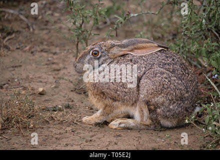 Lateral view of Cape hare Lepus capensis  in South Africa - Stock Image