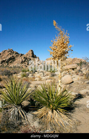 Yucca Nolina Beargrass Hidden Valley Landscape Mojave Desert Joshua Tree National Park California - Stock Image