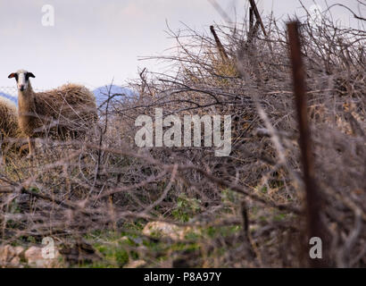 Female sheep standing looking from a mountain  behind an old  fence and previously eaten olive tree branches. Saronida, East Attica, Greece, Europe. - Stock Image