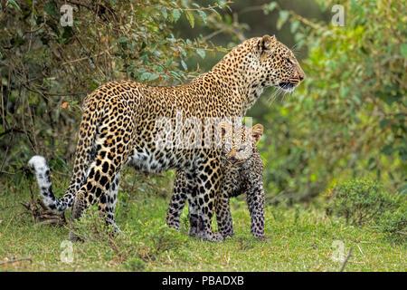 African Leopard (Panthera pardus) mother and cub. Masai Mara, Africa. September. - Stock Image