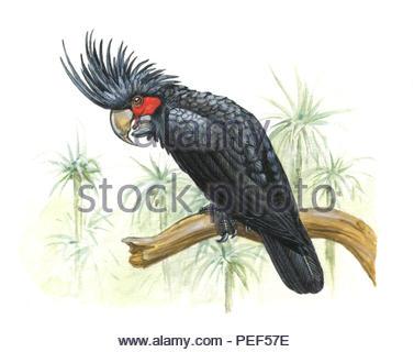palm cockatoo probosciger aterrimus - Stock Image