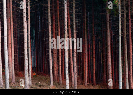 Norway Spruce (Picea abies), Stems in Monoculture Forestry, Lower Saxony, Germany - Stock Image