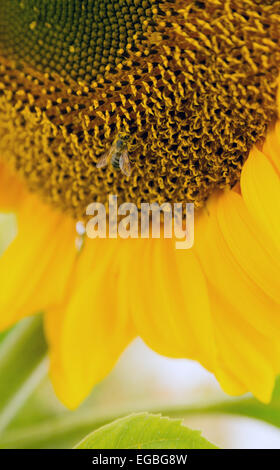 a bee probes around on a big sunflower - Stock Image