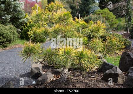 Pinus thunbergii 'Ogon' at the Oregon Garden in Silverton, Oregon, USA. - Stock Image