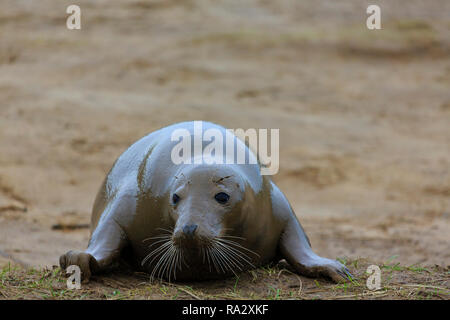 Grey seal cow at Donna Nook nature reserve, Lincolnshire, England - Stock Image