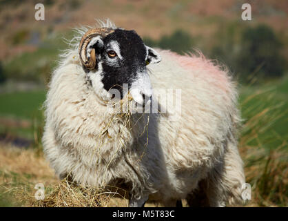 Sheep grazing on open ground in the mountains, hills of the English countryside. Livestock, hill farming. - Stock Image