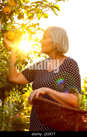 Senior woman with a basket on her arm picking ripe apples of a tree in her garden yard in the golden light of a - Stock Image