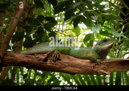 Chinese Water Dragon - Stock Image