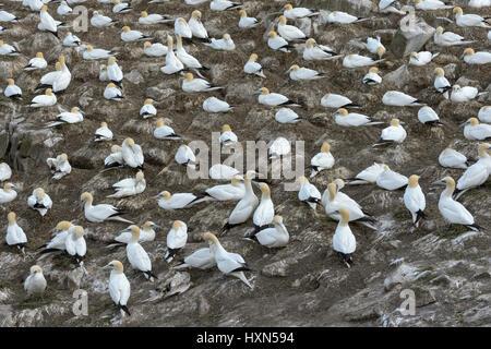 Nesting colony of northern gannets (Morus bassanus). Great Saltee island, co Wexford, Ireland. April. - Stock Image