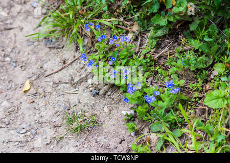 Bright blue flowers of a clump of germander speedwell Veronica chamaedrys growing on a roadside verge - Stock Image