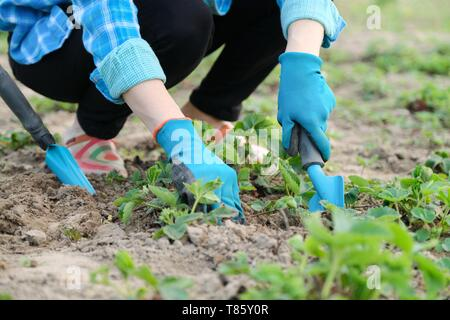 Gardener cultivates soil with hand tools, spring gardening, strawberry cultivation. Closeup of hands working woman in gloves - Stock Image