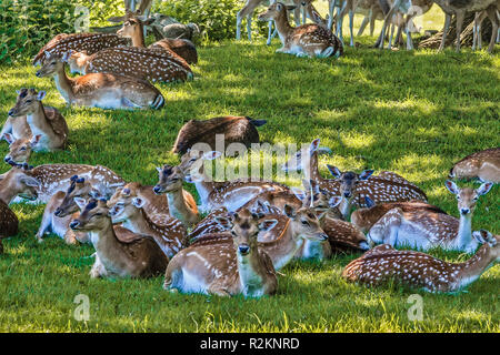 Fallow Deer Resting UP In The Shade Berkshire UK - Stock Image