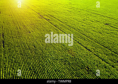 Green agricultural field at sunset aerial angle view - Stock Image
