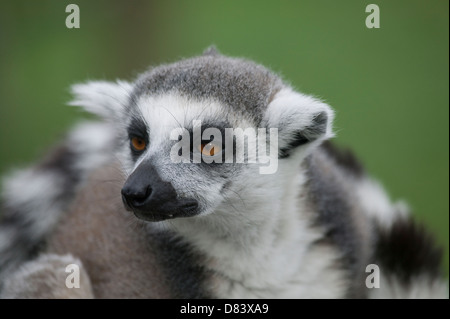 Close up portrait of a Ring-tailed lemur Lemur catta looking at a commotion in the distance - Stock Image