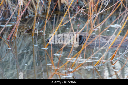 North American Beaver hiding among willows near shore of pond in evening, Castle Rock Colorado US. Photo taken in February. - Stock Image