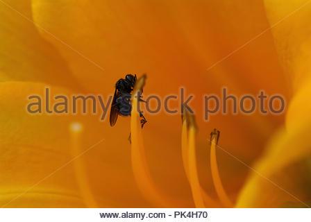Bee feeding on pollen inside beautiful yellow lily - Stock Image