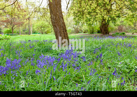 Bluebells under a tree in Surrey, England - Stock Image