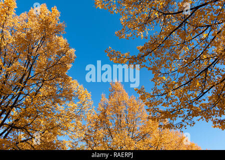 Colorful fall foliage and blue sky - Stock Image