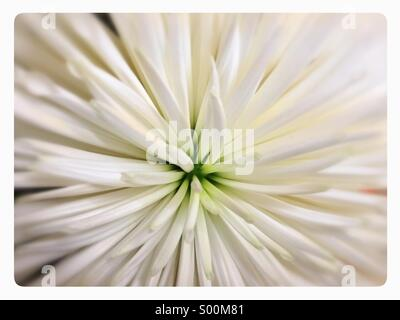 Close up of white flower. - Stock Image