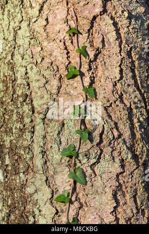Ivy climbing up the trunk of a pine tree - Stock Image