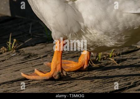 Orange duck legs (Pekin or Aylesbury duck) - Stock Image
