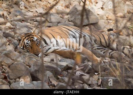 Bengal tiger (Panthera tigris tigris), Ranthambhore, Rajasthan, India, Asia - Stock Image