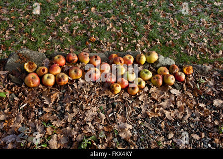 Windfall apples at autumn - Stock Image