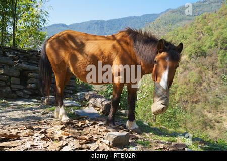 Red horse feeding from a nose bag in the Annapurna region, Nepal. - Stock Image