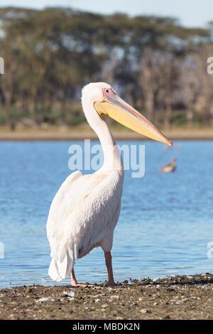 Great White Pelican, Pelecanus onocrotalus, standing on shore of Lake Naivasha in Kenya - Stock Image