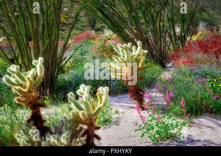 Cholla catus, red Chuparosa, and Ocotillo. Anza Borrego Desert State Park, California - Stock Image