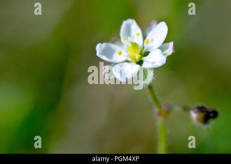 Corn Spurrey (spergula arvensis), close up of a single flower with an out of focus background. - Stock Image