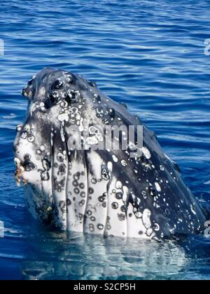 Humpback whale, Hervey Bay Queensland - Stock Image