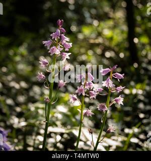 Spring flowering pink Spanish bluebells ( Hyacinthoides hispanica) an English woodland setting. - Stock Image