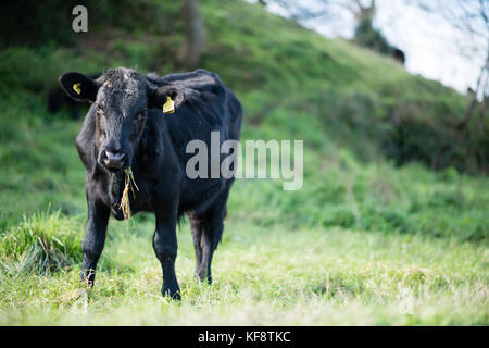 A herd of inquisitive tagged young black Limousin crossed with Holstein Friesian cattle on a public footpath in - Stock Image