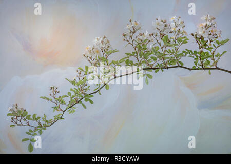 USA, WA, Seabeck. Close-up of wild roses branch. - Stock Image