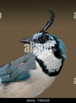 White Throated Magpie Jay (calcocitta formosa) - Stock Image