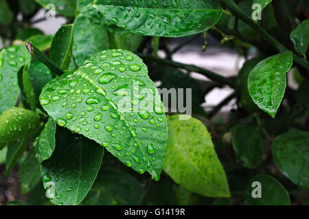 Water droplets sitting on a green lemon tree leaf . - Stock Image