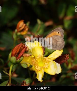 Male Meadow Brown butterfly Maniola jurtina (underwing view) - Stock Image