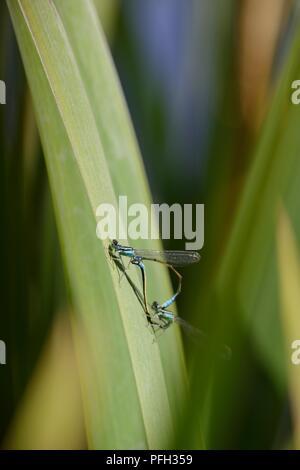 Coenagrion puella, Azure Damselflies mating in copulation wheel position, Wales, UK. - Stock Image