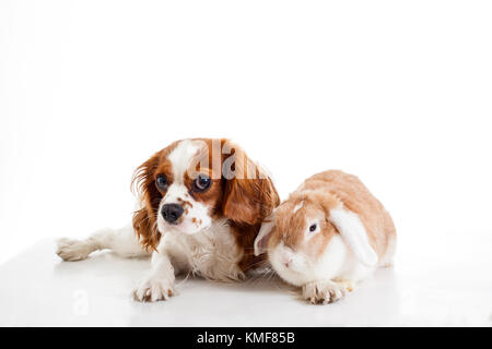 Cute cavalier king charles spaniel dog puppy on isolated white studio background. Dog puppy with lop bunny rabbit. - Stock Image