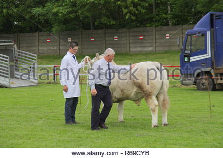 Male judge inspecting a bull at a cattle show. - Stock Image