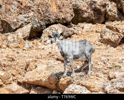 A grey adult goat standing on a rocky landscape in Grand Fond, St Barts - Stock Image