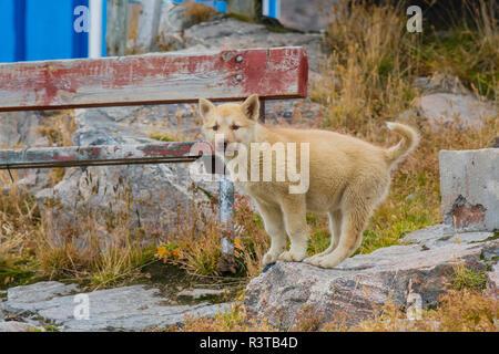 Greenland. Scoresby Sund. Ittoqqortoormiit. Sled dog puppy. - Stock Image