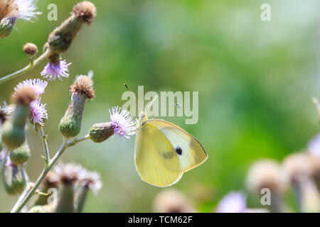 Closeup side view of a Pieris brassicae, the large white or cabbage butterfly pollinating on a flower. - Stock Image
