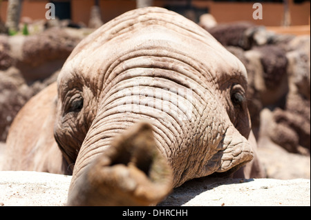 Elephant trunk reaching for camera - Stock Image