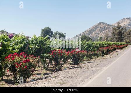 Vineyard in Santiago do Chile - Stock Image