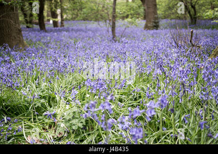 Low and wide angle view of a carpet of Common Bluebells (Hyacinthoides non-scripta) in woodland in Spring, East - Stock Image
