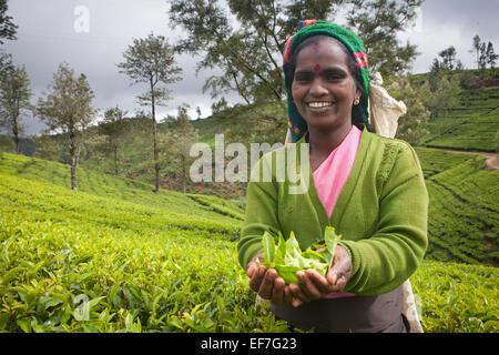TEA PICKER AT WORK IN PLANTATION - Stock Image