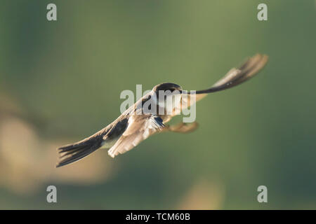 Sand martin, Riparia riparia, also known as bank swallow in flight, building a nest - Stock Image
