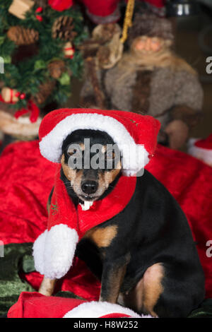 pet, miniature pinscher dressed as father christmas - Stock Image